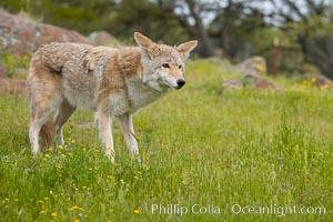 Coyote, Sierra Nevada foothills, Mariposa, California., Canis latrans, natural history stock photograph, photo id 15899