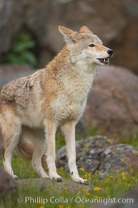 Coyote, Sierra Nevada foothills, Mariposa, California., Canis latrans, natural history stock photograph, photo id 15900