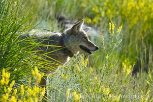 Image 13095, Coyote, Lamar Valley.  This coyote bears not only a radio tracking collar, so researchers can follow its daily movements, but also a small green tag on its left ear. Lamar Valley, Yellowstone National Park, Wyoming, USA, Canis latrans, Phillip Colla, all rights reserved worldwide. Keywords: animal, animalia, canidae, caniformia, canis, canis latrans, carnivora, carnivore, chordata, coyote, id tag, identification tag, lamar valley, latrans, mammal, national parks, usa, vertebrata, vertebrate, world heritage sites, wyoming, yellowstone, yellowstone national park, yellowstone park.