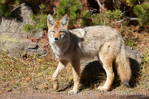 Coyote. Yellowstone National Park, Wyoming, USA, Canis latrans, natural history stock photograph, photo id 19634
