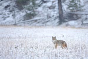 Coyote in snow covered field along the Madison River. Yellowstone National Park, Wyoming, USA, Canis latrans, natural history stock photograph, photo id 19635