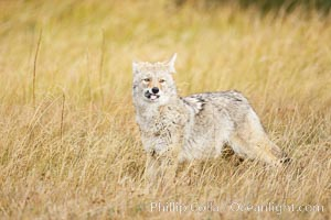 A coyote eats a vole that it has just captured in tall grass, autumn, Canis latrans, Yellowstone National Park, Wyoming