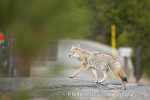 Coyote crosses a road in front of a car.  Dozens of coyotes, wolves, bears, elk and bison are killed each year in Yellowstone as they attempt to cross the roads in front of drivers who are not paying attention or speeding, Canis latrans, Yellowstone National Park, Wyoming