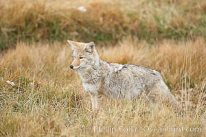 A coyote hunts for voles in tall grass, autumn. Yellowstone National Park, Wyoming, USA, Canis latrans, natural history stock photograph, photo id 19650