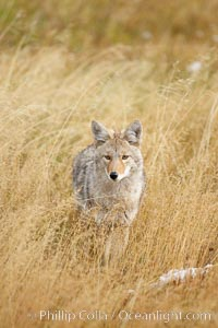 A coyote hunts for voles in tall grass, autumn. Yellowstone National Park, Wyoming, USA, Canis latrans, natural history stock photograph, photo id 19651