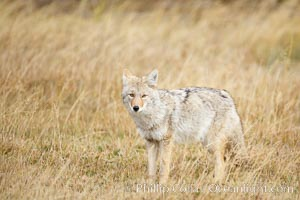 A coyote hunts for voles in tall grass, autumn. Yellowstone National Park, Wyoming, USA, Canis latrans, natural history stock photograph, photo id 19652