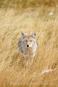A coyote hunts for voles in tall grass, autumn. Yellowstone National Park, Wyoming, USA, Canis latrans, natural history stock photograph, photo id 19664