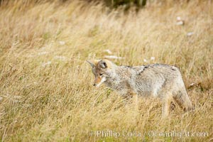 A coyote hunts for voles in tall grass, autumn. Yellowstone National Park, Wyoming, USA, Canis latrans, natural history stock photograph, photo id 19669