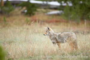A coyote hunts for voles in tall grass, autumn, Canis latrans, Yellowstone National Park, Wyoming