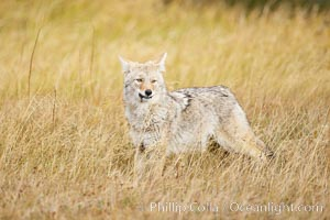 A coyote hunts for voles in tall grass, autumn. Yellowstone National Park, Wyoming, USA, Canis latrans, natural history stock photograph, photo id 20999