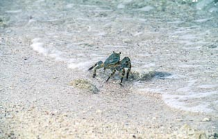 Crab on Sand at Rose Atoll NWR, American Samoa, Rose Atoll National Wildlife Refuge