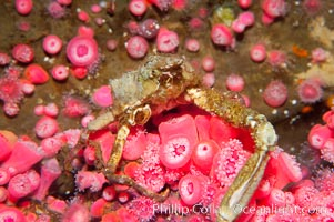 Unidentified marinecrab atop strawberry anemones, Crabbius idontknowus, Corynactis californica
