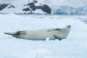 A crabeater seal, hauled out on pack ice to rest.  Crabeater seals reach 2m and 200kg in size, with females being slightly larger than males.  Crabeaters are the most abundant species of seal in the world, with as many as 75 million individuals.  Despite its name, 80% the crabeater seal's diet consists of Antarctic krill.  They have specially adapted teeth to strain the small krill from the water. Cierva Cove, Antarctic Peninsula, Antarctica, Lobodon carcinophagus, natural history stock photograph, photo id 25576