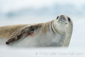 A crabeater seal, hauled out on pack ice to rest.  Crabeater seals reach 2m and 200kg in size, with females being slightly larger than males.  Crabeaters are the most abundant species of seal in the world, with as many as 75 million individuals.  Despite its name, 80% the crabeater seal's diet consists of Antarctic krill.  They have specially adapted teeth to strain the small krill from the water. Neko Harbor, Antarctic Peninsula, Antarctica, Lobodon carcinophagus, natural history stock photograph, photo id 25650