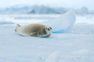 A crabeater seal, hauled out on pack ice to rest.  Crabeater seals reach 2m and 200kg in size, with females being slightly larger than males.  Crabeaters are the most abundant species of seal in the world, with as many as 75 million individuals.  Despite its name, 80% the crabeater seal's diet consists of Antarctic krill.  They have specially adapted teeth to strain the small krill from the water. Neko Harbor, Antarctic Peninsula, Antarctica, Lobodon carcinophagus, natural history stock photograph, photo id 25673