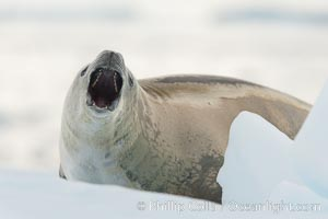 A crabeater seal, hauled out on pack ice to rest.  Crabeater seals reach 2m and 200kg in size, with females being slightly larger than males.  Crabeaters are the most abundant species of seal in the world, with as many as 75 million individuals.  Despite its name, 80% the crabeater seal's diet consists of Antarctic krill.  They have specially adapted teeth to strain the small krill from the water. Neko Harbor, Antarctic Peninsula, Antarctica, Lobodon carcinophagus, natural history stock photograph, photo id 25701