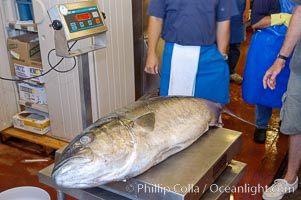 Craig OConnors pending spearfishing world record North Pacific yellowtail (77.4 pounds) is weighed at Point Loma Seafoods.  It was taken on a breathold dive with a band-power speargun near Battleship Point, Guadalupe Island (Isla Guadalupe), Mexico. July 2004, H&M Landing, San Diego, California