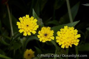 Crete weed blooms in spring, Batiquitos Lagoon, Carlsbad, Hedypnois cretica