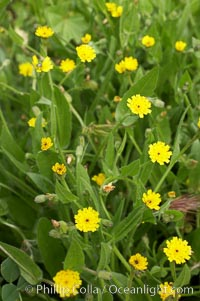Crete weed blooms in spring, Batiquitos Lagoon, Carlsbad, Hedypnois cretica