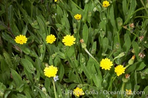 Crete weed blooms in spring, Batiquitos Lagoon, Carlsbad. Batiquitos Lagoon, Carlsbad, California, USA, Hedypnois cretica, natural history stock photograph, photo id 11363