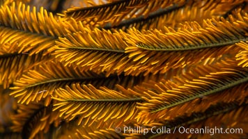 Crinoid feather star closeup view of tentacles, which it extends into ocean currents, Fiji, Crinoidea, Namena Marine Reserve, Namena Island
