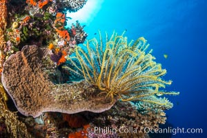 Crinoid (feather star) extends its tentacles into ocean currents, on pristine south pacific coral reef, Fiji. Vatu I Ra Passage, Bligh Waters, Viti Levu  Island, Fiji, Crinoidea, natural history stock photograph, photo id 31362
