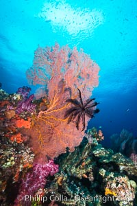 Crinoid clinging to gorgonian sea fan, Fiji. Vatu I Ra Passage, Bligh Waters, Viti Levu  Island, Fiji, Crinoidea, Gorgonacea, natural history stock photograph, photo id 31355