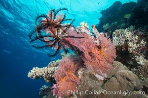 Crinoid clinging to gorgonian sea fan, Mount Mutiny, Bligh Waters, Fiji, Crinoidea, Gorgonacea, Vatu I Ra Passage
