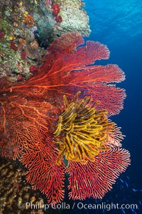Crinoid clinging to gorgonian sea fan, Fiji. Namena Marine Reserve, Namena Island, Crinoidea, Gorgonacea, natural history stock photograph, photo id 31404