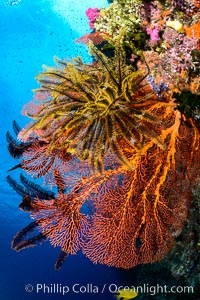 Crinoid clinging to gorgonian sea fan, Fiji, Crinoidea, Gorgonacea, Plexauridae