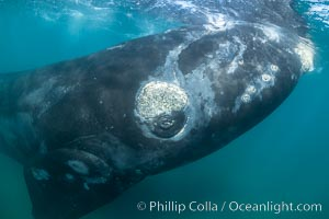 Inquisitive southern right whale underwater, Eubalaena australis, closely approaches cameraman, Argentina, Eubalaena australis, Puerto Piramides, Chubut