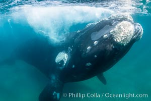 Inquisitive southern right whale underwater, Eubalaena australis, closely approaches cameraman, Argentina. Puerto Piramides, Chubut, Eubalaena australis, natural history stock photograph, photo id 35955