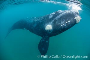 Inquisitive southern right whale underwater, Eubalaena australis, closely approaches cameraman, Argentina. Puerto Piramides, Chubut, Eubalaena australis, natural history stock photograph, photo id 35959