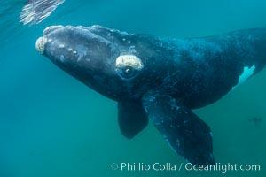 Inquisitive southern right whale underwater, Eubalaena australis, closely approaches cameraman, Argentina, Eubalaena australis, Puerto Piramides, Chubut