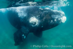 Inquisitive southern right whale underwater, Eubalaena australis, closely approaches cameraman, Argentina, Puerto Piramides, Chubut