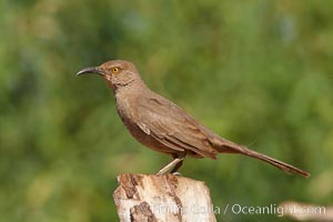 Curve-billed thrasher. Amado, Arizona, USA, Toxostoma curvirostre, natural history stock photograph, photo id 22974