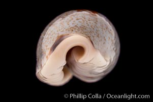 Cylindrical Cowrie, Cypraea cylindrica, natural history stock photograph, photo id 08404