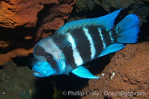 Bumphead cichlid, found only in Lake Tanganyika, Africa., Cyphotilapia frontosa, natural history stock photograph, photo id 14689