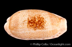 Caurica Cowrie, Cypraea caurica longior
