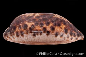 Turtle Cowrie., Cypraea testudinaria, natural history stock photograph, photo id 08312
