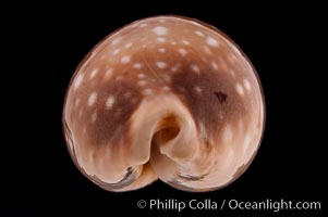 Pacific Deer Cowrie., Cypraea vitellus, natural history stock photograph, photo id 08336