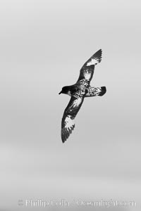 Pintado petrel, in flight, Daption capense