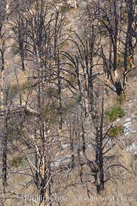 Dead trees killed by fire on the sides of Rock Creek Canyon. Rock Creek Canyon, Sierra Nevada Mountains, California, USA, natural history stock photograph, photo id 23350