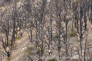 Dead trees killed by fire on the sides of Rock Creek Canyon. Rock Creek Canyon, Sierra Nevada Mountains, California, USA, natural history stock photograph, photo id 23380