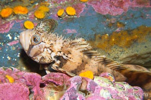 Decorated warbonnet.  The elaborate cirri on the warbonnets head may help to camoflage it among the rocks and crevices that it inhabits, Chirolophis decoratus
