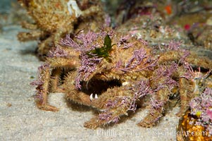 Decorator crab, Loxorhynchus crispetus