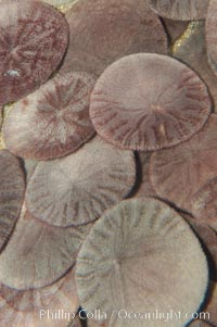 Sand dollars., Dendraster excentricus, natural history stock photograph, photo id 08833