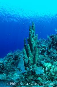 Pillar coral. Roatan, Honduras, Dendrogyra cylindrus, natural history stock photograph, photo id 05572
