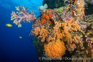 Dendronephthya and Chironephthya Soft Corals on South Pacific Reef, Fiji. Vatu I Ra Passage, Bligh Waters, Viti Levu  Island, Fiji, Chironephthya, Dendronephthya, natural history stock photograph, photo id 31695