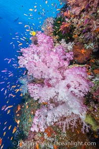Colorful Dendronephthya soft coral and schooling Anthias fish on coral reef, Fiji, Dendronephthya, Pseudanthias, Vatu I Ra Passage, Bligh Waters, Viti Levu  Island